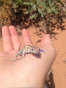 An adult Side-Blotch Lizard I found in one of the traps. You may notice that its left claw is blue. We mark the lizards here to check if we recapture any. Photo taken by B. Palmer