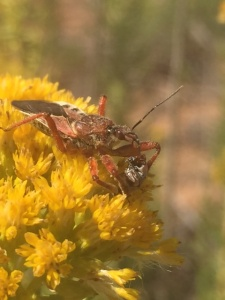 Rasahus thoracius assassin bug found while collecting Isocoma pluriflora seed