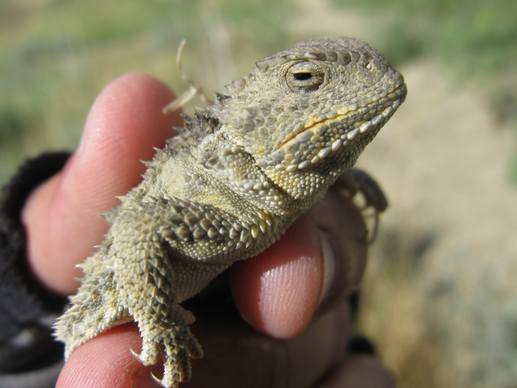 A horned lizard I caught named Jason Funderburker.
