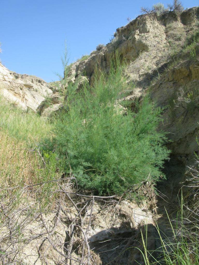 Hard to find, isolated salt cedar...ready for any type of shenanigan.
