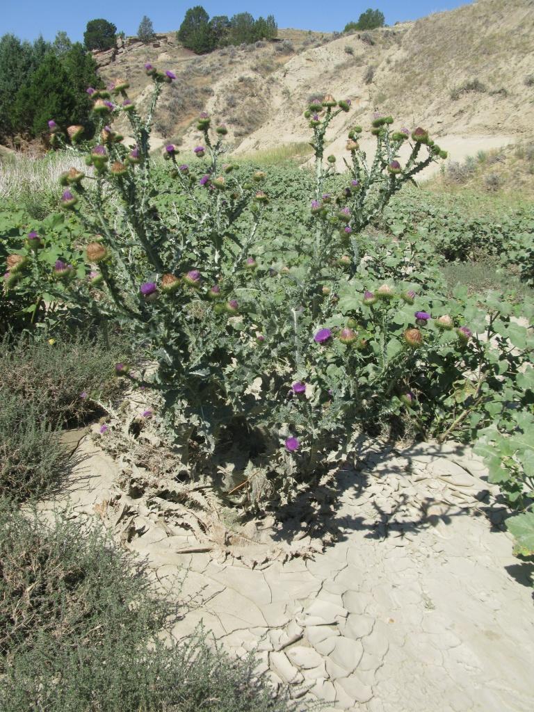 Onopordum acanthium, Scotch Thistle!! My favorite NISIMS weed!