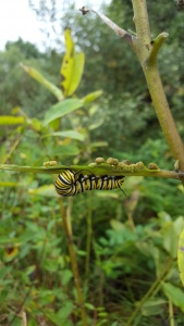 Monarch caterpillar on some milkweed