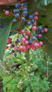 Beautiful Viburnum nudum berries