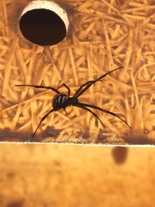 A juvenile black widow spider-may had built webs in the corners of the Wildlife Waters.
