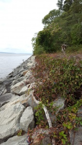 Awesome rockwall where we collected thousands of Parthenocissus quinquefolia