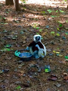 Coquerel's Sifaka lemur! So cute!