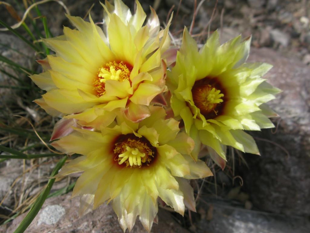 Cactus flowers!!