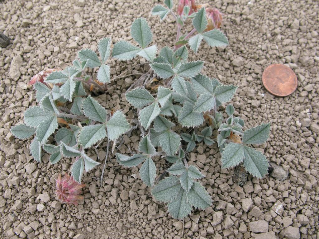 Leiberg's clover (Trifolium leibergii)! My favorite rare plant to monitor!