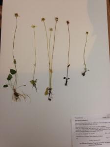 Parnassia specimen