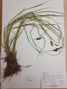 Mounted, labeled, and stamped, this specimen is ready to join the herbarium collection.