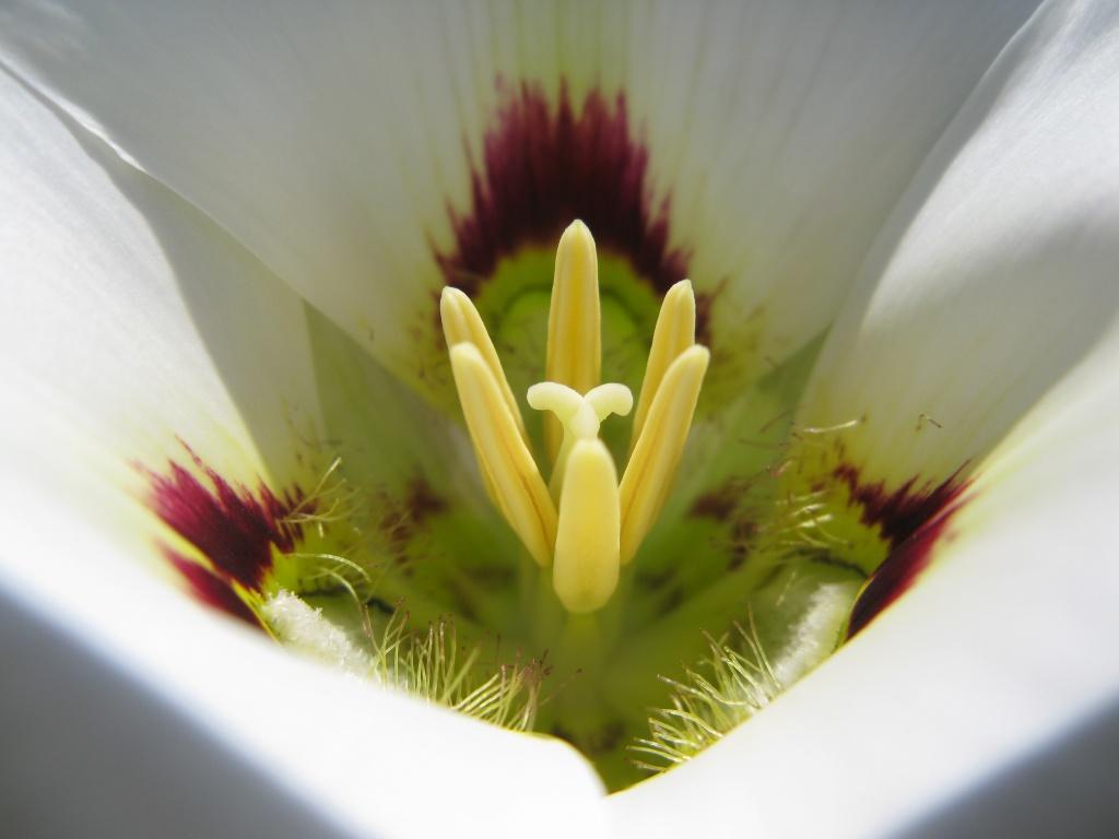 Sagebrush/ Mariposa Lily (Calochortus spp.)