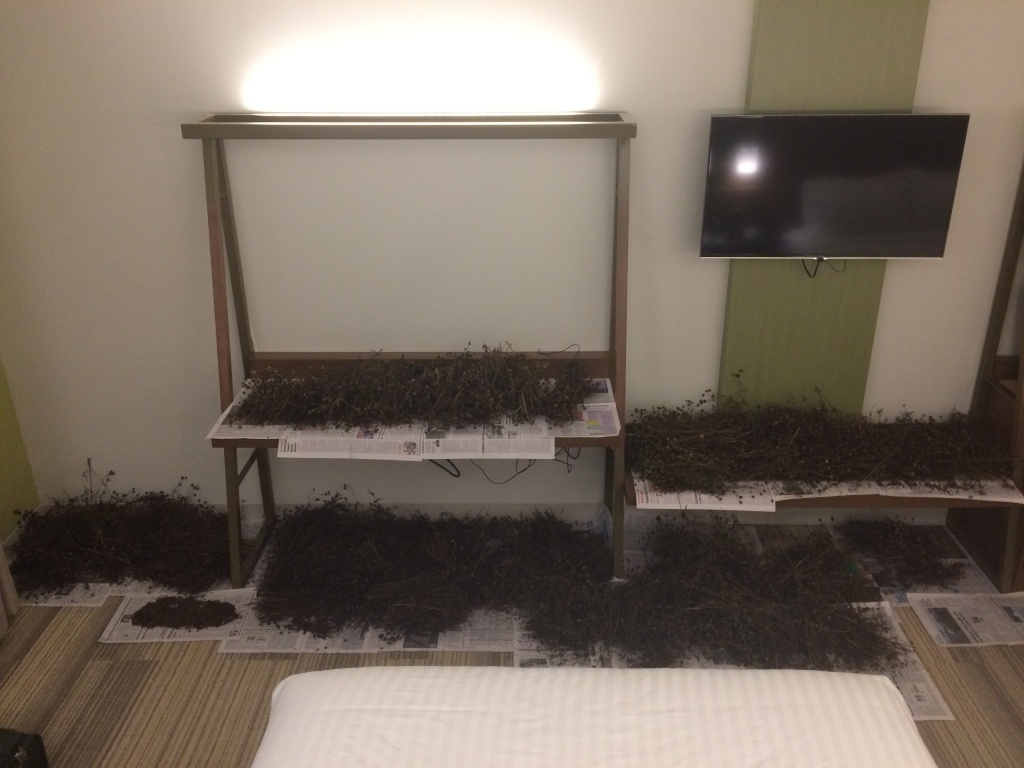 Our hotel room filled with drying Bidens aristosa