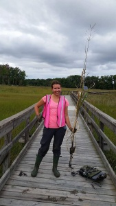 Covered in marsh gunk per usual. Had to get down and dirty to collelct this Spartina cynosuroides specimen.