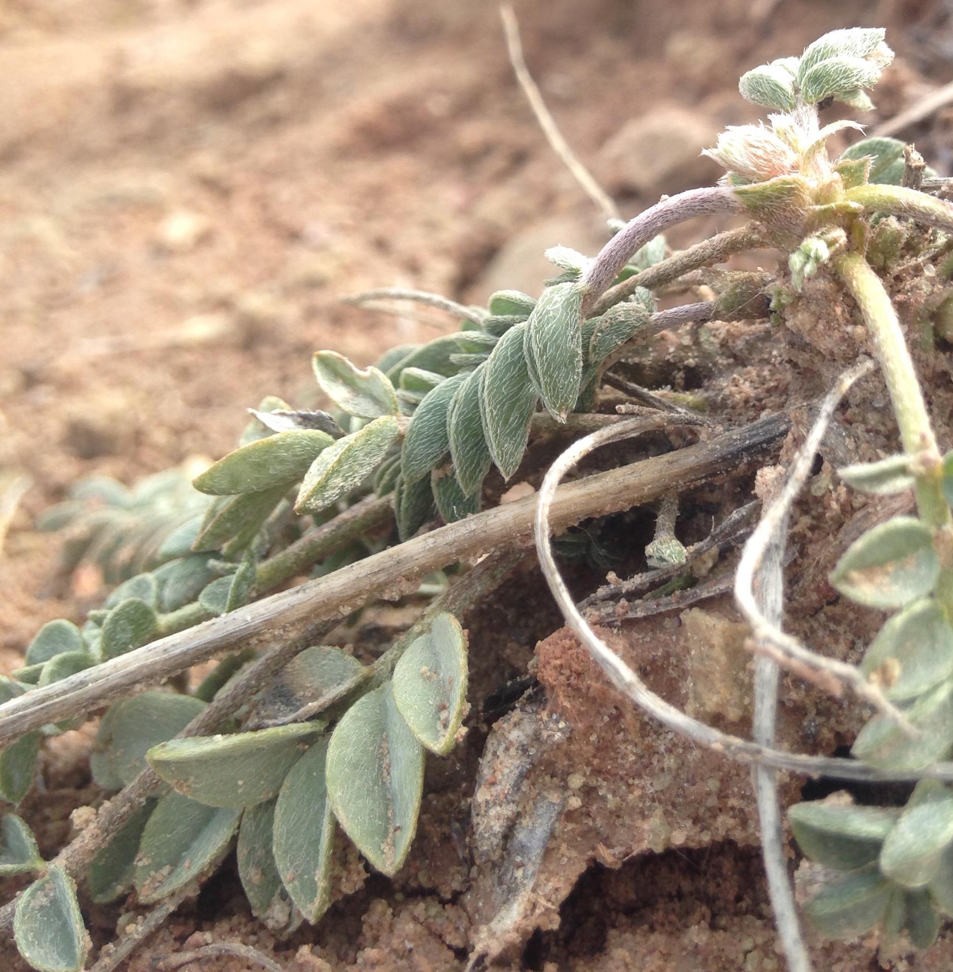 Endemic Astragalus species